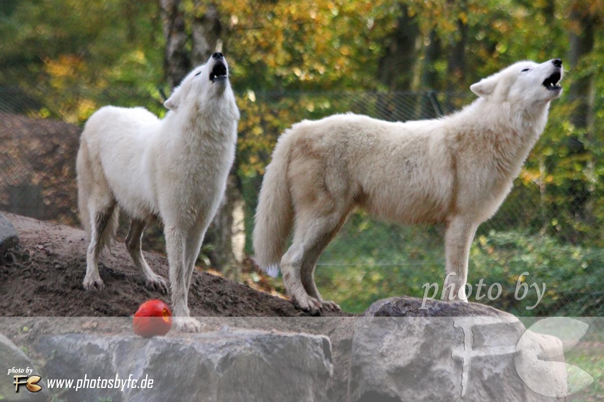 26.10.13 - HALLOWEEN WOLFSHEULNACHT IM WILDPARK HANAU KLEIN-AUHEIM