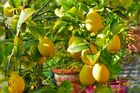 294-13 Zitronen sind reif!