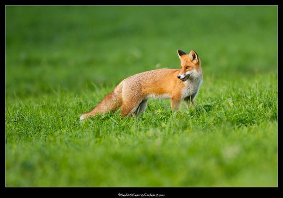 2ème du renard