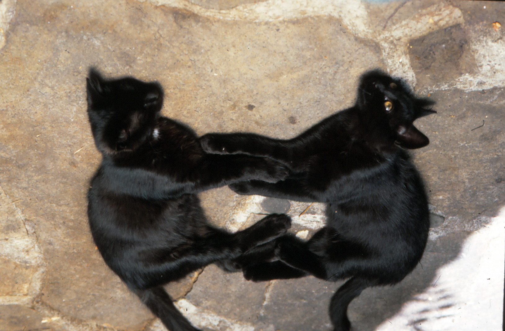 2x süße schwarze Katzen im Klintsch