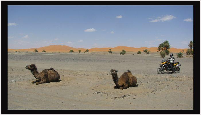 3 ääh, nein, 2 Kamele