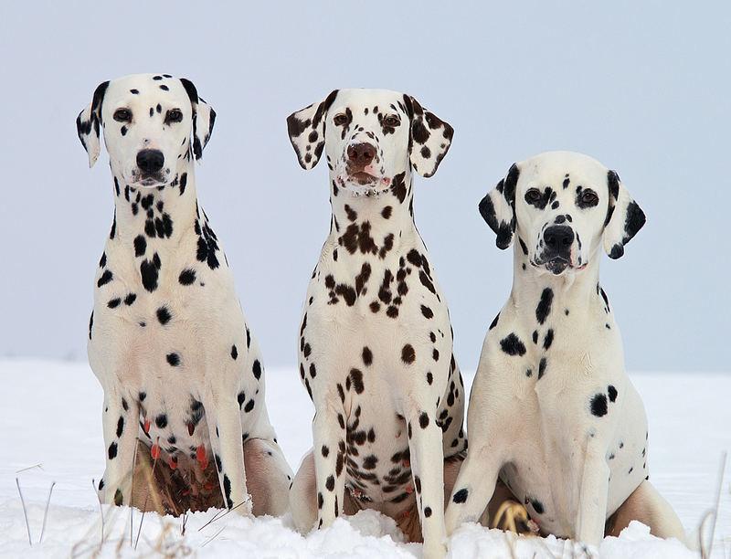 3 Dalmatiner
