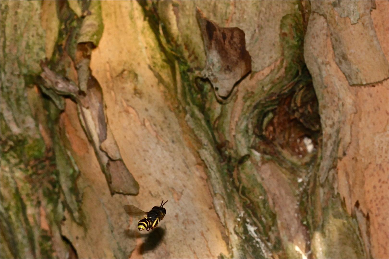 3 -- Die Grabwespe Ectemnius lapidarius (hier ein Männchen* im Anflug auf das Nest)