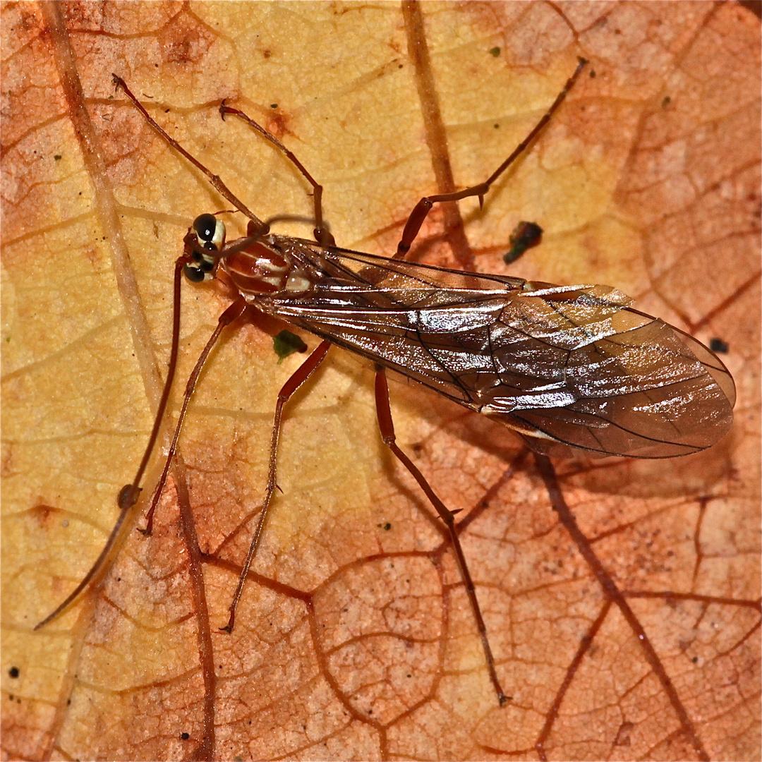 (3) Die Ichneumonide (Schlupfwespe) Ophion obscuratus