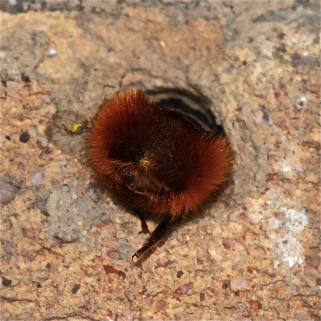 (3) Dies ist keine Mopsfledermaus, die ihren Stollen nach dem Winterschlaf verlässt - . . .