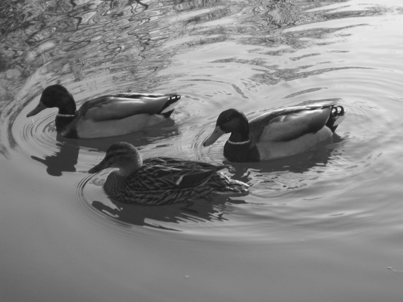 3 Enten auf einem Teich