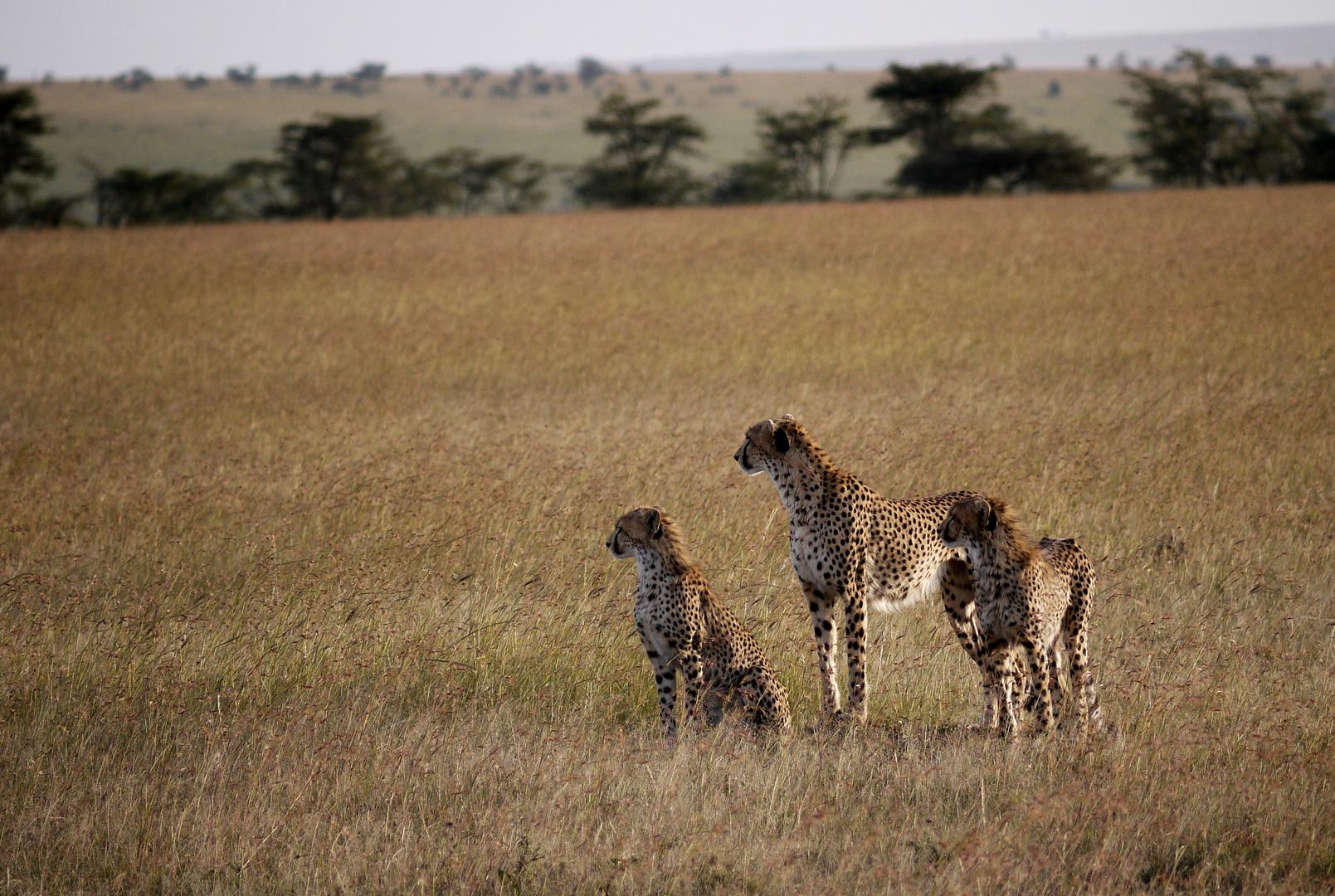 3 Geparden ..