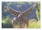 3 Giraffen