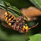 (3) Hornisse (Vespa crabro) frißt Honigbiene (Apis mellifica)