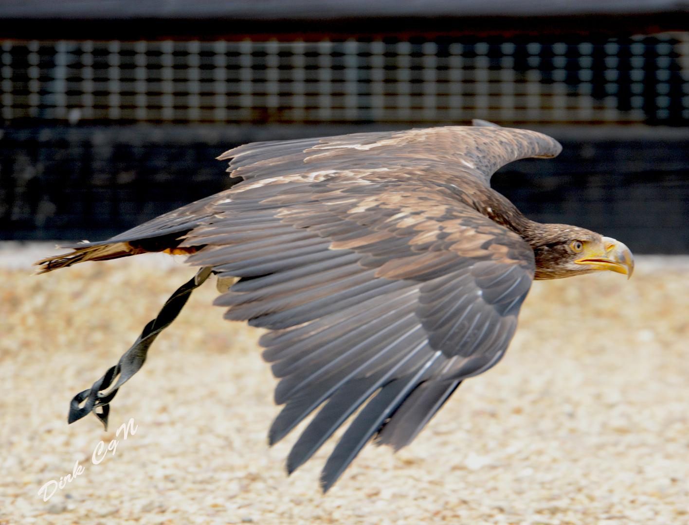 3 Jahre alter Weisskopf See Adler