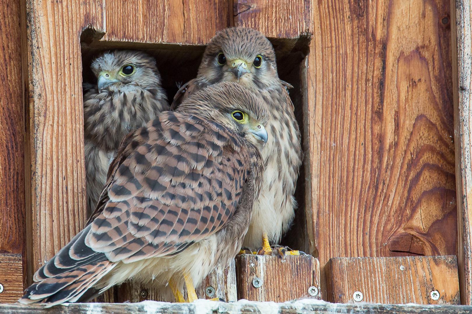 3 junge Falken