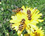 3 kesse Bienen ????