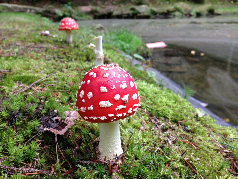 3 kleine Fliegenpilze , die standen mal im Wald ...