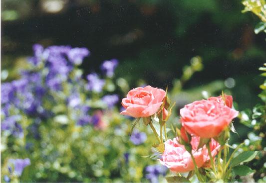 3 rosa Rosen