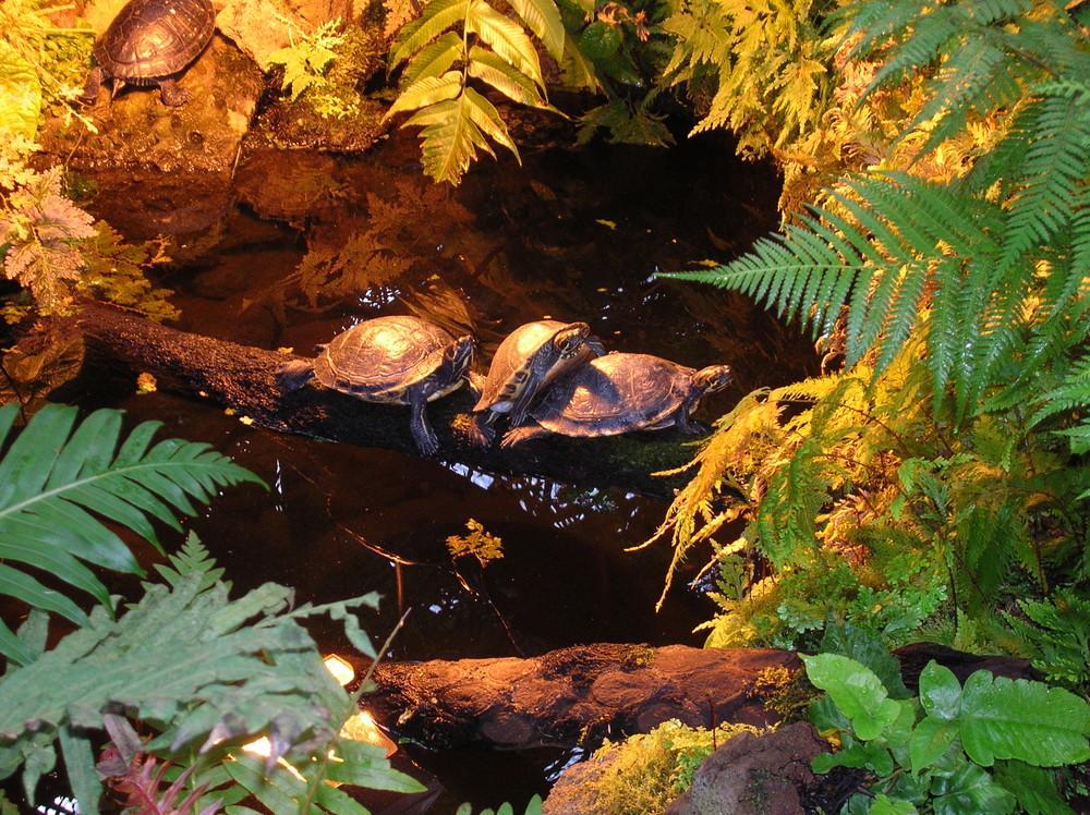 3 Schildkröten auf Flucht