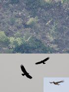 3 Schlangenadler