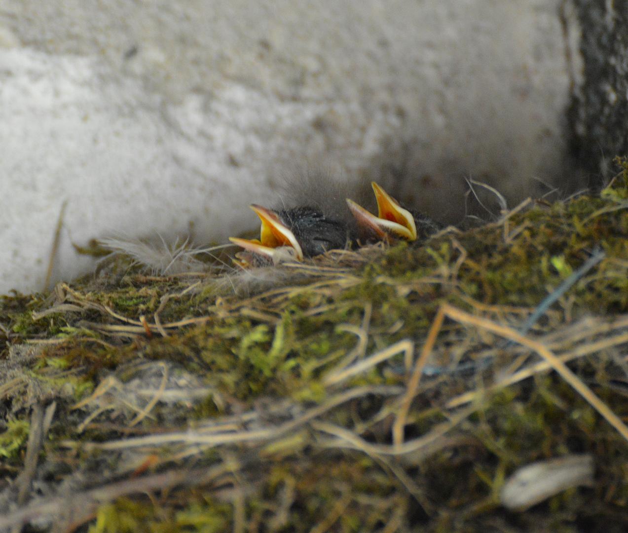 3 Tage alte Gartenrotschwanzbabys haben auch schon Hunger