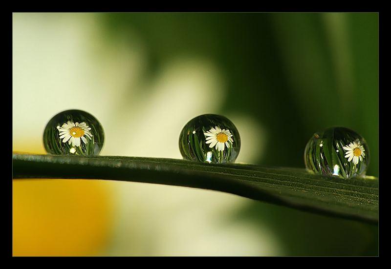 3 times daisy