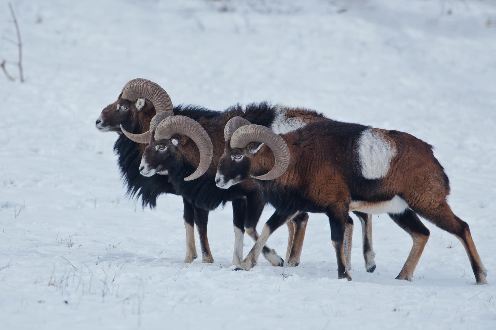3 Widder im Schnee...