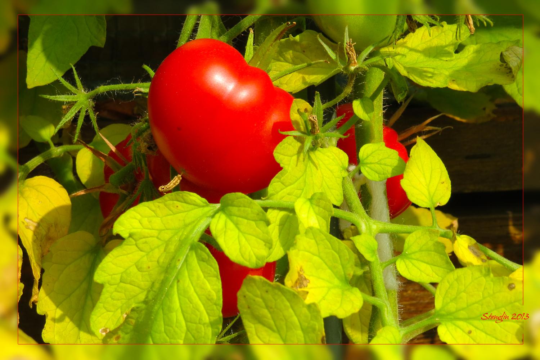 300-13 Tomatenherbst