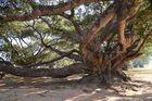 300 Jahre alter alter Banyanbaum in Pindaya, Burma