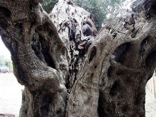 300 Jahre alter Olivenbaum (überarbeitet)