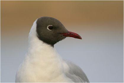 Möwen, Sturmvögel & Albatrosse