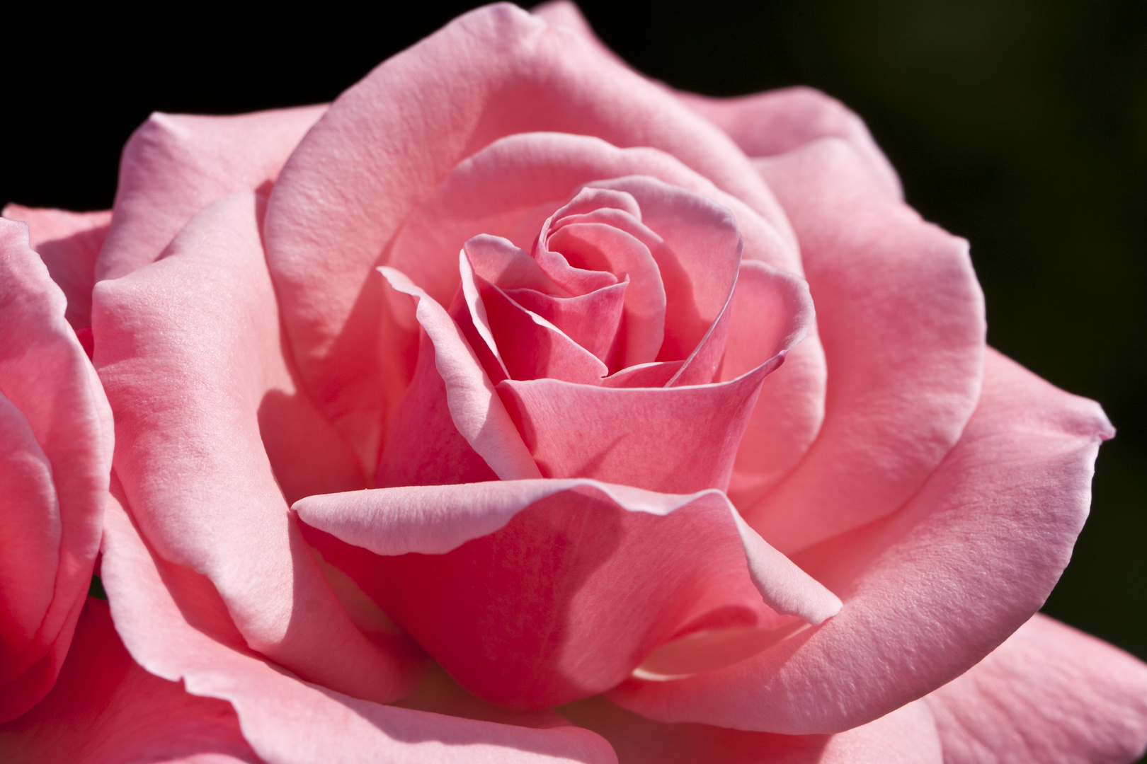 37 - Die letzte Rose in unserem Garten ...