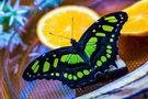 DE: Ostsalat mit Schmetterling by FOTO-MAGU Fotodesign