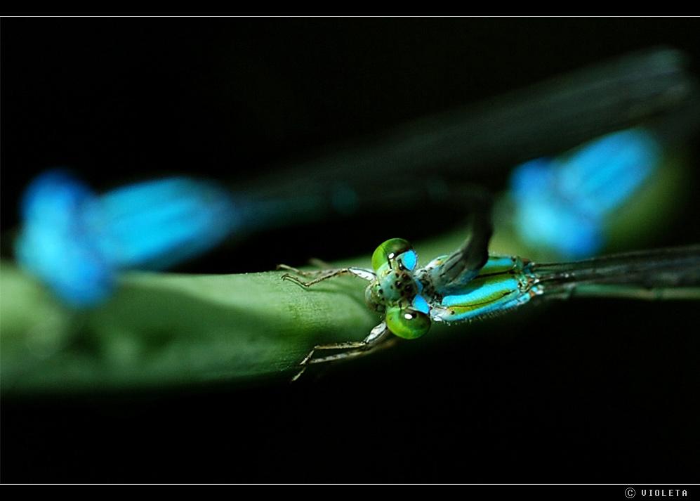 """3er Libelle (n) - Beziehung """"Ménage à trois en bleu"""""""