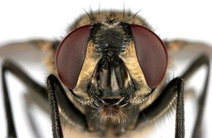 Fliegen, Mücken & Schnaken