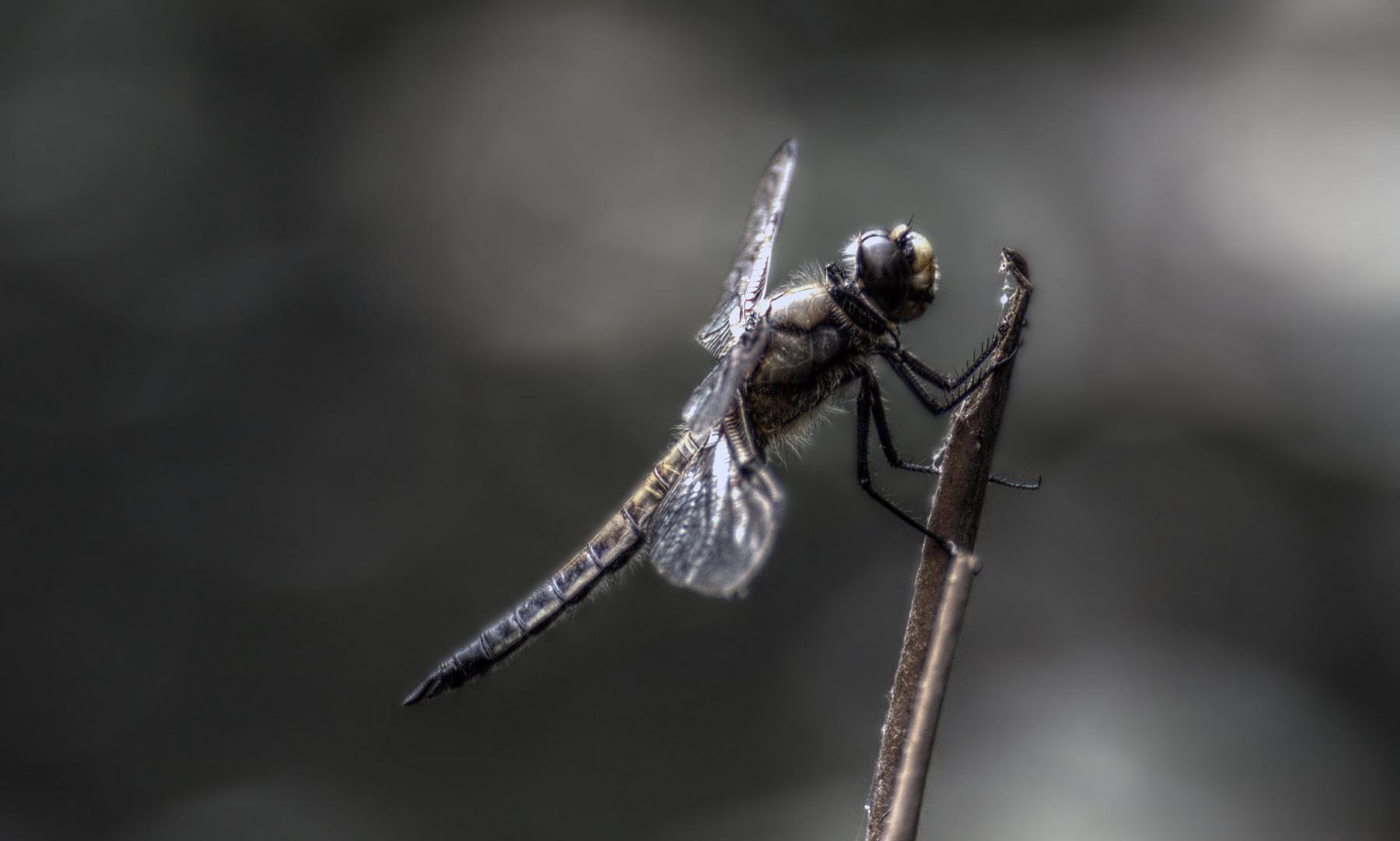 4-Fleck Libelle am Teich