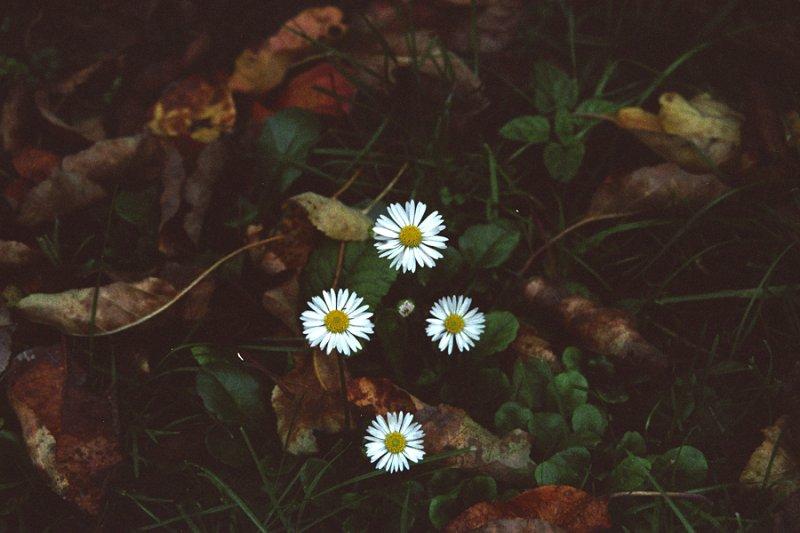 4 Gänseblümchen