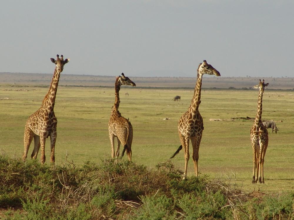 4 girafes au Parc Amboseli du Kenya