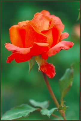 4 Jahre FC ....eine Rose zur Erinnerung