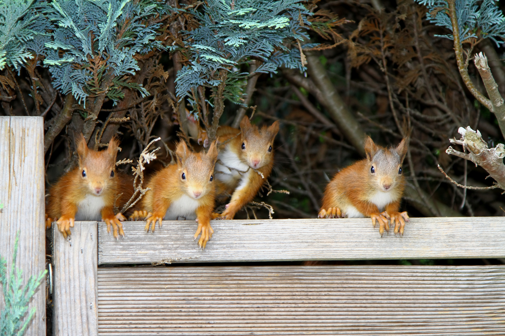 4 junge Eichhörnchen