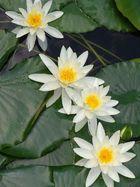 4 Weisse Schönheiten