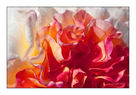 41-12 Tief in die Rose geschaut...