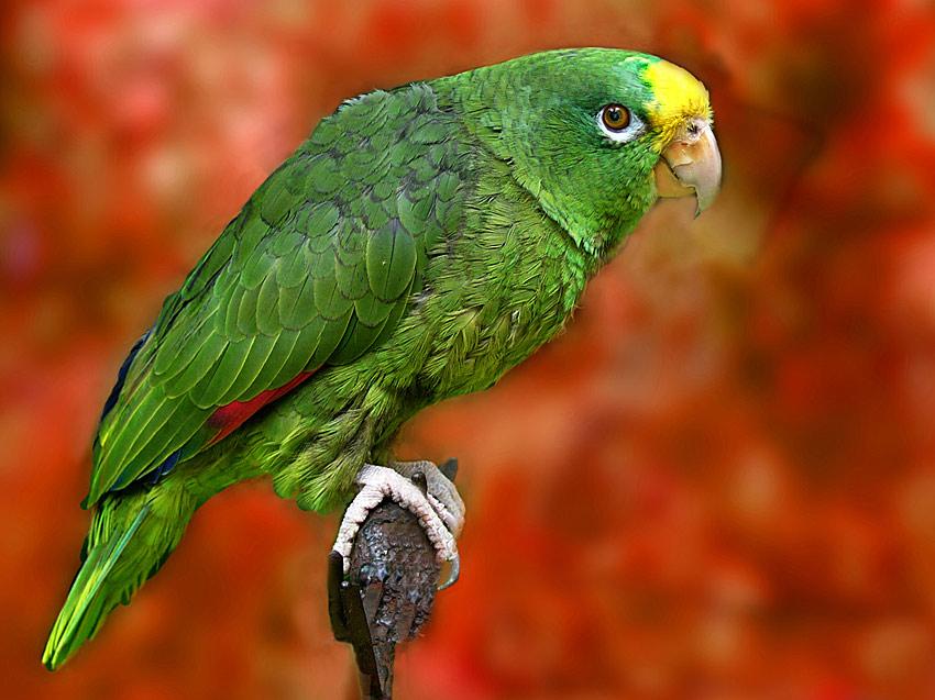 41 Jahre alter Papageienhahn, Koko