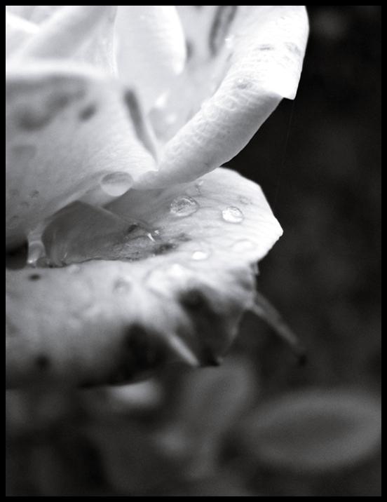 42. rosedrops