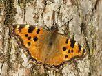 4.3.2007: Mein erster Schmetterling in diesem Jahr