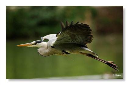 Hérons, cigognes, ibis ...