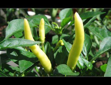 08/06 Chili-Pflanzen