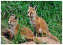 --- Geschwister --- ( Vulpes vulpes ) von Wolfgang Zerbst - Naturfoto