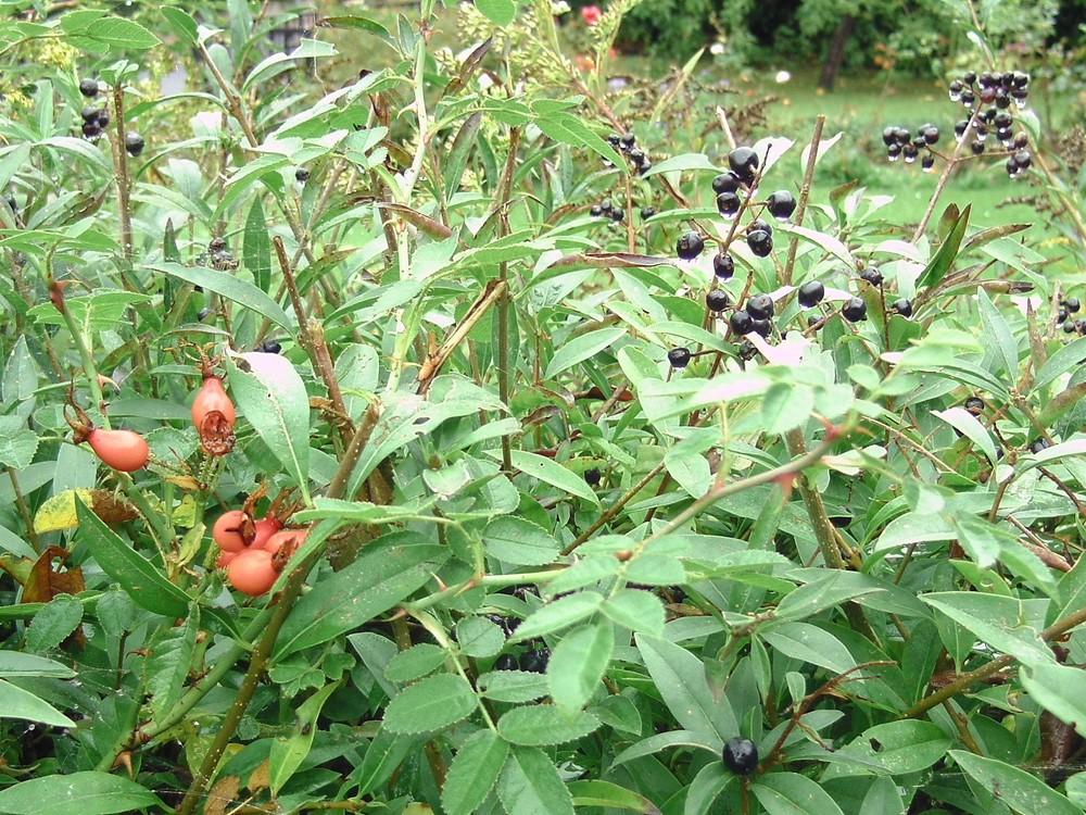 5 Ernte im Herbst (Liguster)