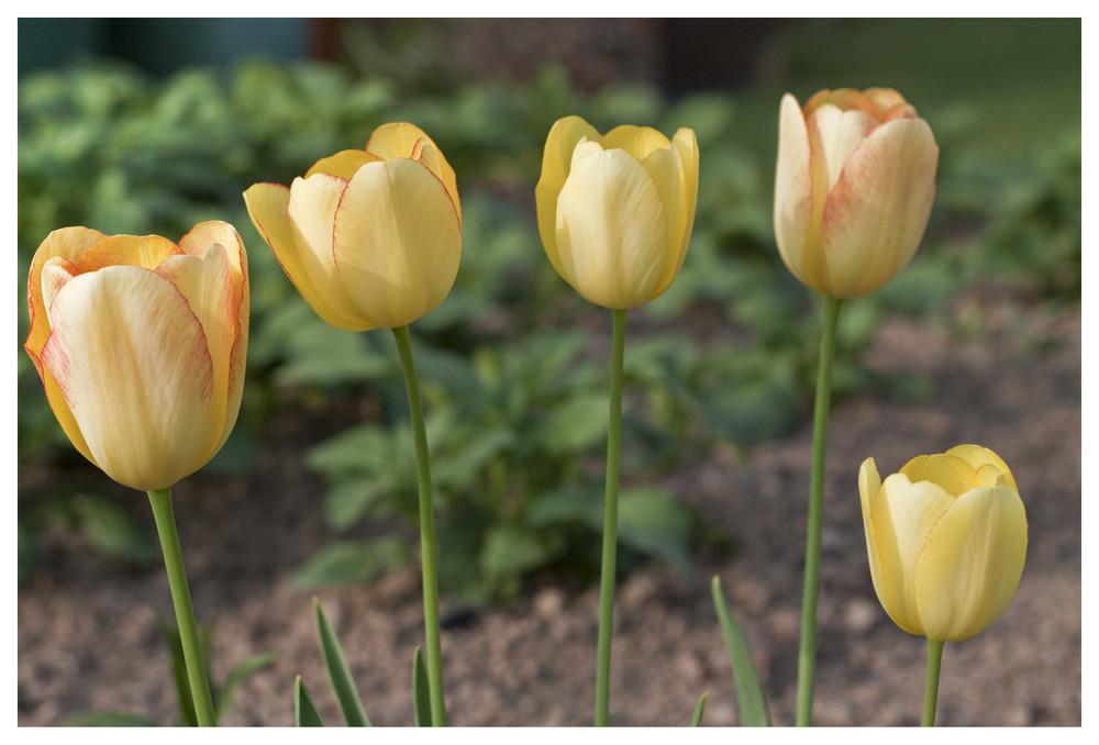 ° 5 Tulpen °