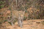 56 - Namibia - eine Leopardendame