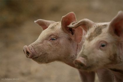 (Glücks-) Schweine