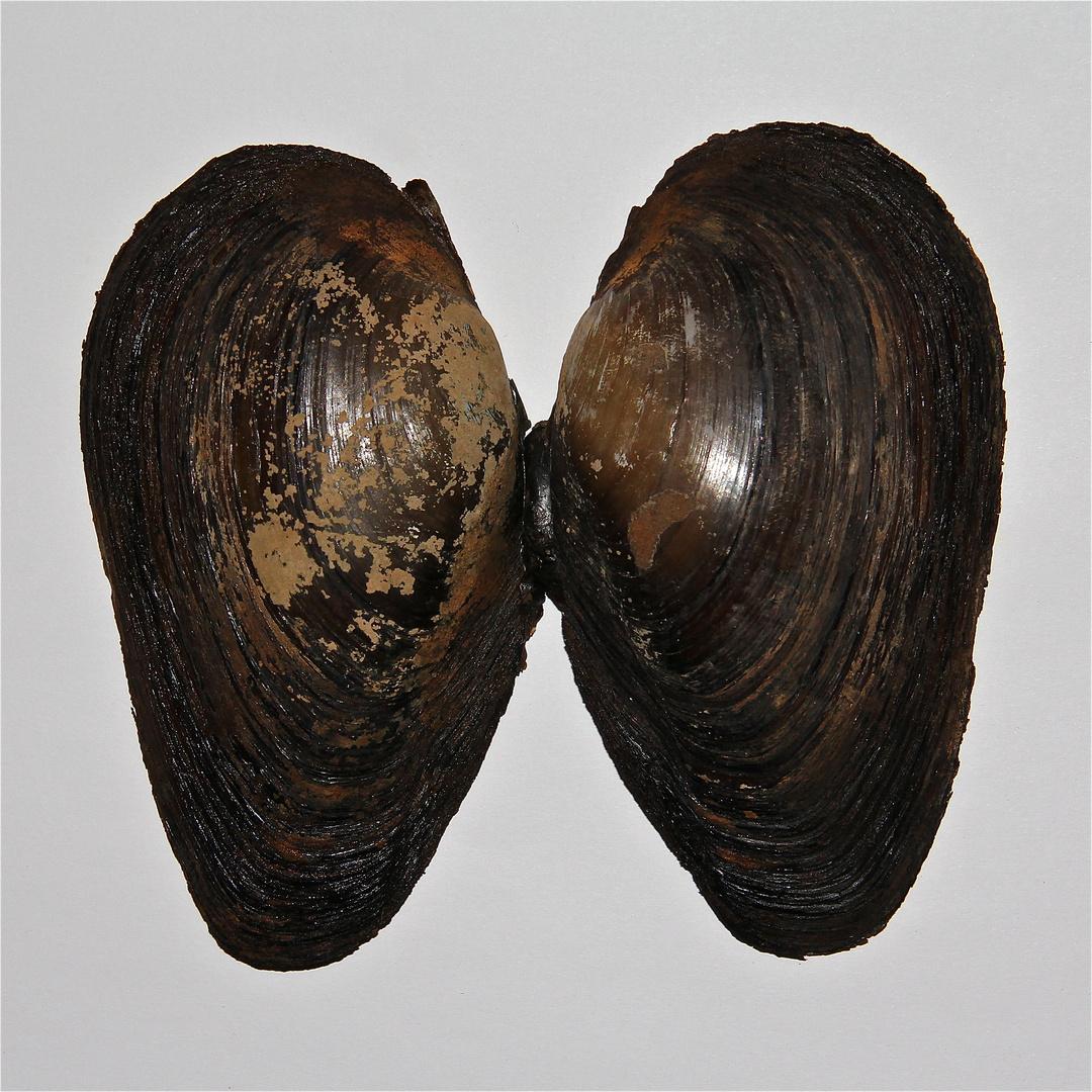 (6) Die selbe Muschel wie auf dem Bild (5): Große Teichmuschel (Anodonta cygnea)