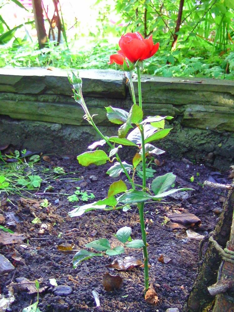 6 Ernte im Herbst (Rose)